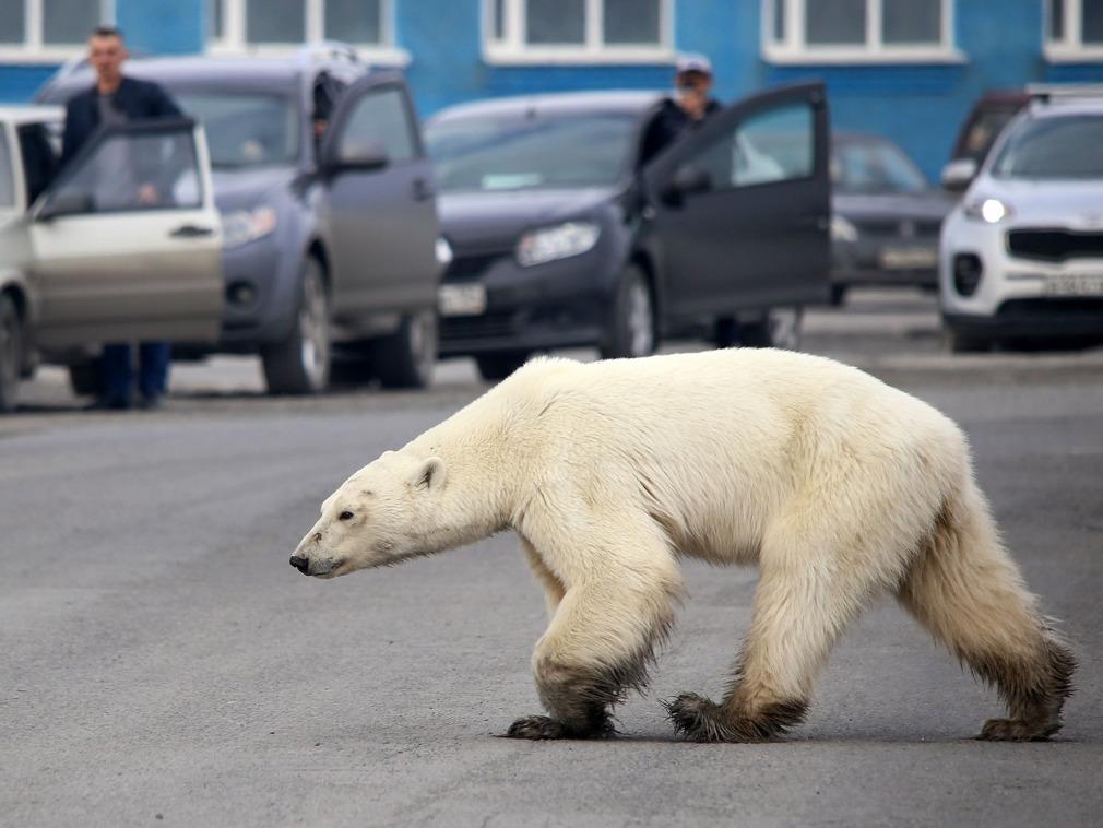 北极熊跋涉1500公里出现在城市翻垃圾堆觅食 画面让人心酸[图集]